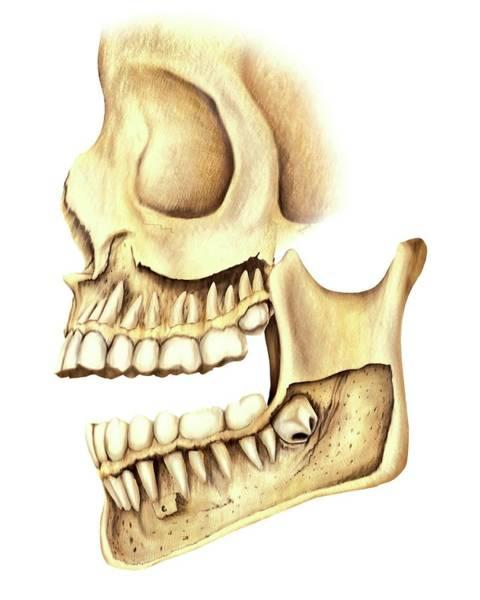 Atlas Of Human Anatomy Wall Art - Photograph - Adult Teeth by Asklepios Medical Atlas