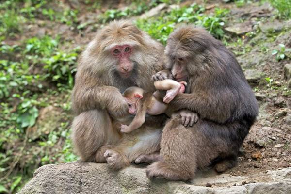 Infant Photograph - Adult Tibetan Macaques Grooming Infant. by Tony Camacho