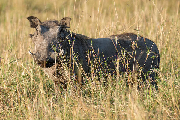 Wall Art - Photograph - Adult Warthog Standing In Grass, Kenya by James Steinberg