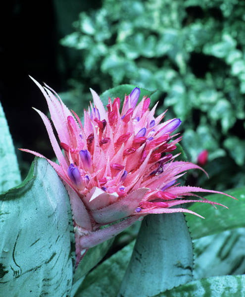 Bromeliad Photograph - Aechmea Fasciata Flower by Andrew Cowin/science Photo Library