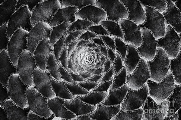 Wall Art - Photograph - Aeonium Monochrome by Tim Gainey