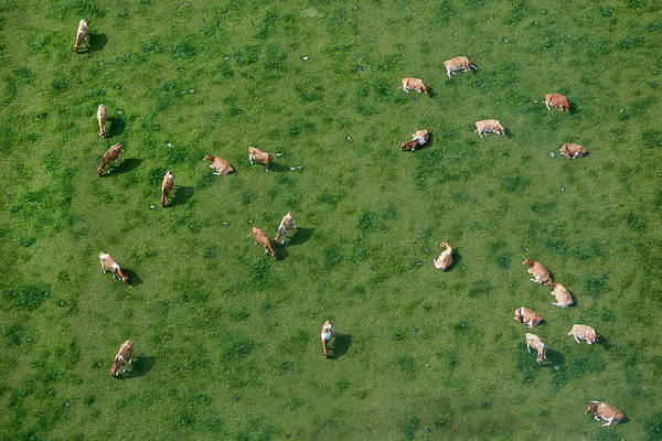 Grazing Photograph - Aerial View Of Cows Grazing by Allan Baxter
