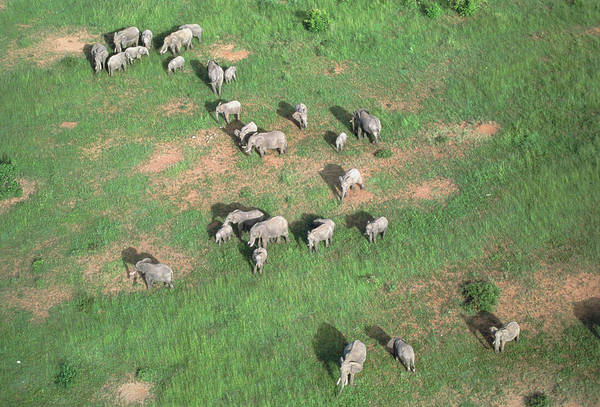 Wall Art - Photograph - Aerial View Of Elephant Herd (loxodonta Africana) by William Ervin/science Photo Library