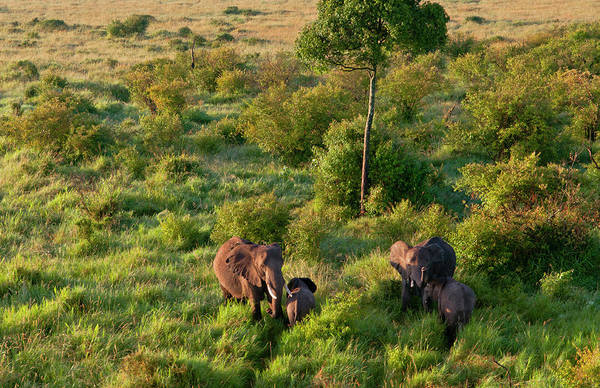 Savannah Photograph - Aerial View Of Elephants In Savannah by Danita Delimont