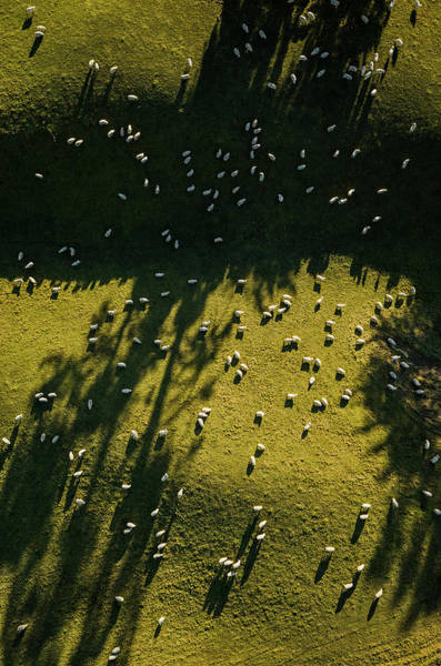 Grazing Photograph - Aerial View Of Sheep Grazing by Jason Hosking