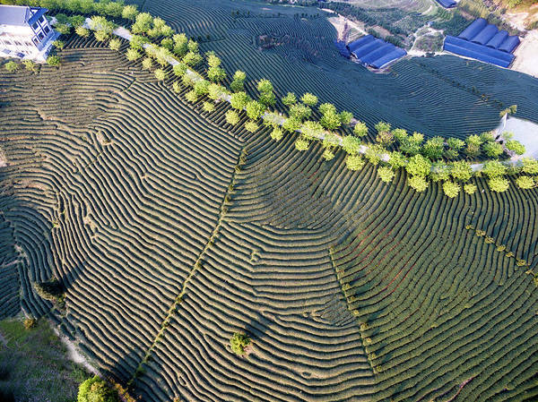 Tea Photograph - Aerial View Of Tea Plantation In China by Zhongguo