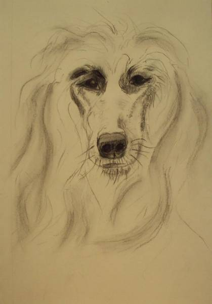 Sight Hound Drawing - Afghan by Image Source