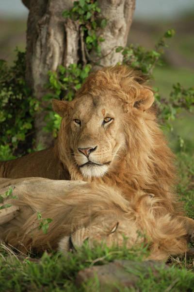 Behavior Photograph - Africa, Kenya, Masai Mara Game Reserve by Joe and Mary Ann Mcdonald
