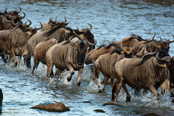 Hoof Photograph - Africa, Kenya, Masai Mara Gr, Mara by Joe and Mary Ann Mcdonald
