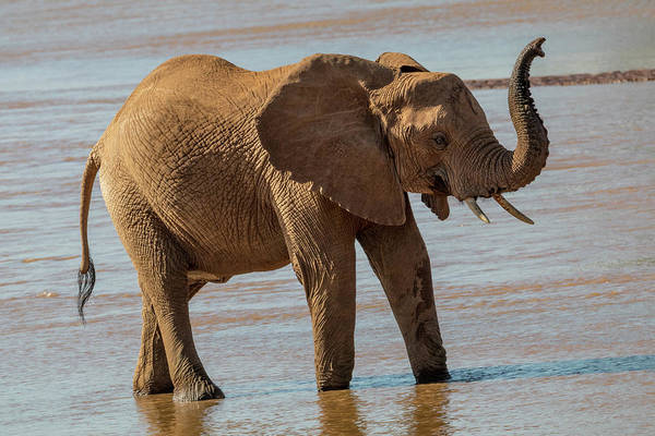 African Elephant Photograph - Africa, Kenya, Samburu, Ewaso Ng'iro by Emily Wilson