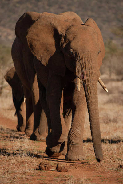 African Elephant Photograph - Africa, Kenya, Samburu Game Reserve by Joe and Mary Ann Mcdonald