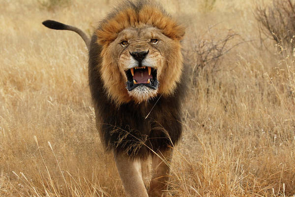 Growling Wall Art - Photograph - Africa, Namibia Aggressive Male Lion by Jaynes Gallery