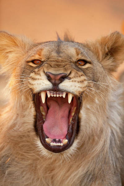 Growling Wall Art - Photograph - Africa, Namibia Male Lion Growling by Jaynes Gallery