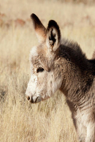 Equus Africanus Photograph - Africa, Namibia, Torras Conservancy by Jaynes Gallery