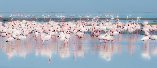 Phoenicopterus Roseus Wall Art - Photograph - Africa, Namibia, Walvis Bay by Jaynes Gallery