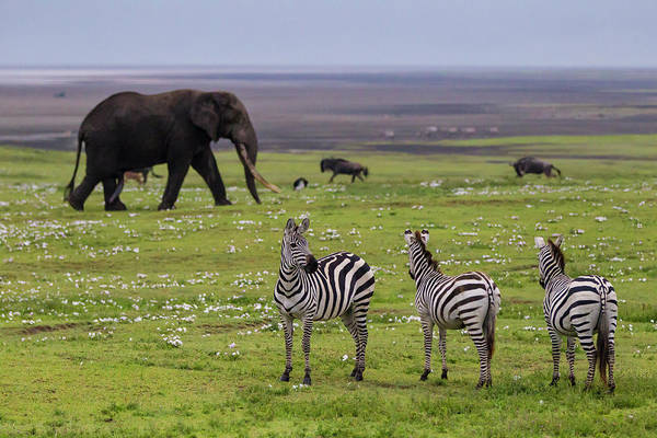 African Elephant Photograph - Africa Tanzania African Elephant by Ralph H. Bendjebar