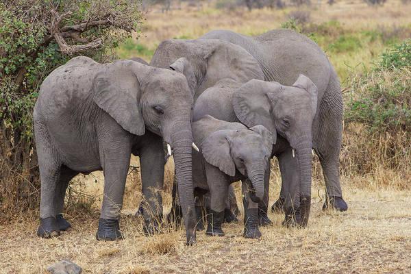 African Elephant Photograph - Africa Tanzania African Elephants by Ralph H. Bendjebar