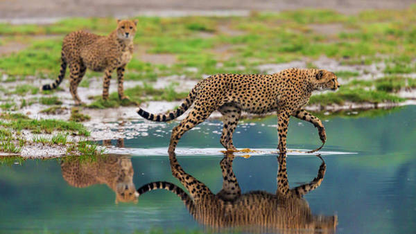 Wall Art - Photograph - Africa Tanzania Cheetahs Cross Some by Ralph H. Bendjebar