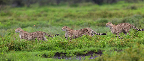 Wall Art - Photograph - Africa Tanzania Cheetahs Hunting by Ralph H. Bendjebar