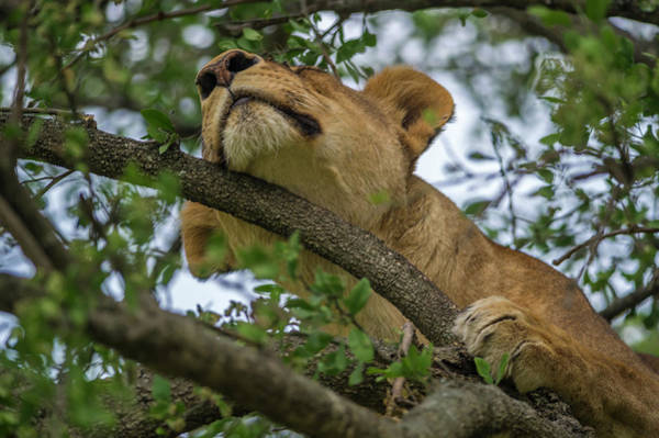 Lion Cubs Photograph - Africa, Tanzania, Lion In Tree by Lee Klopfer