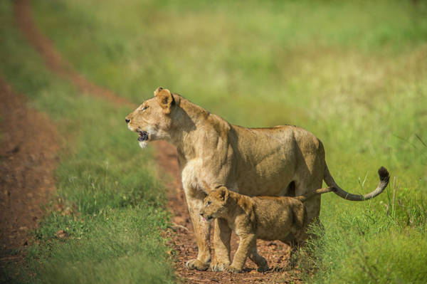 Lion Cubs Photograph - Africa, Tanzania, Lioness With Cub by Lee Klopfer