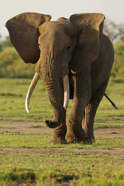 African Elephant Photograph - Africa, Tanzania, Ngorongoro by Joe and Mary Ann Mcdonald