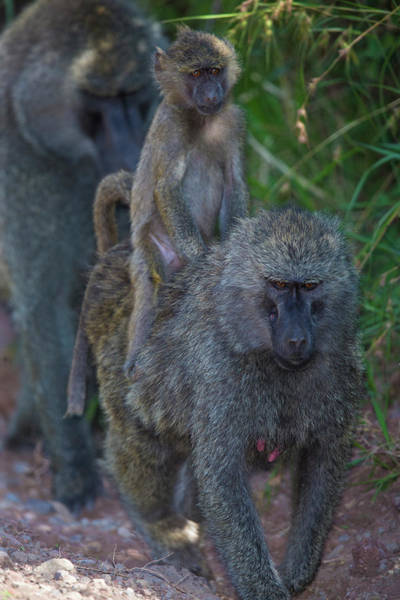 Baboons Photograph - Africa Tanzania Olive Baboon Female by Ralph H. Bendjebar