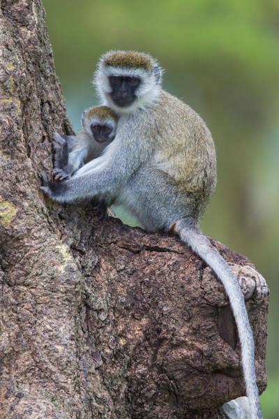 Wall Art - Photograph - Africa Tanzania Vervet Monkey Female by Ralph H. Bendjebar