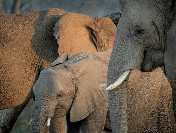 African Elephant Photograph - Africa, Zambia Elephant Adults by Jaynes Gallery