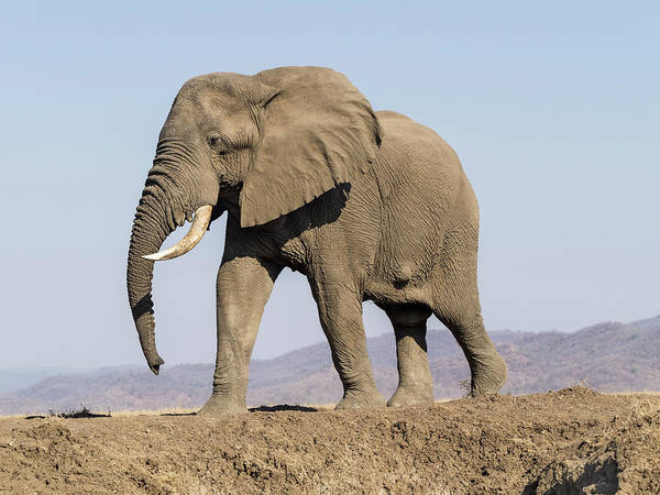 African Elephant Photograph - Africa, Zambia Elephant Atop Hill by Jaynes Gallery