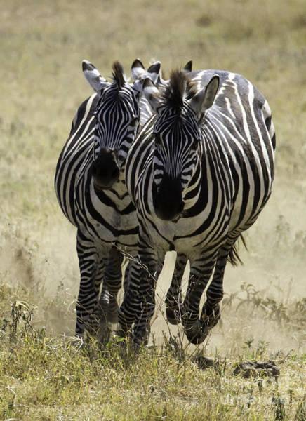 Photograph - Africa Zebras Running by Chris Scroggins