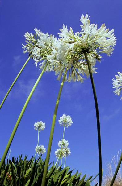 Agapanthus Photograph - African Blue Lilies (agapanthus Sp.) by Dr. John Brackenbury/science Photo Library