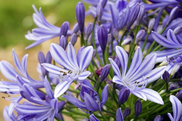 Agapanthus Photograph - African Blue Lily (agapanthus Orientalis) by Pascal Goetgheluck/science Photo Library