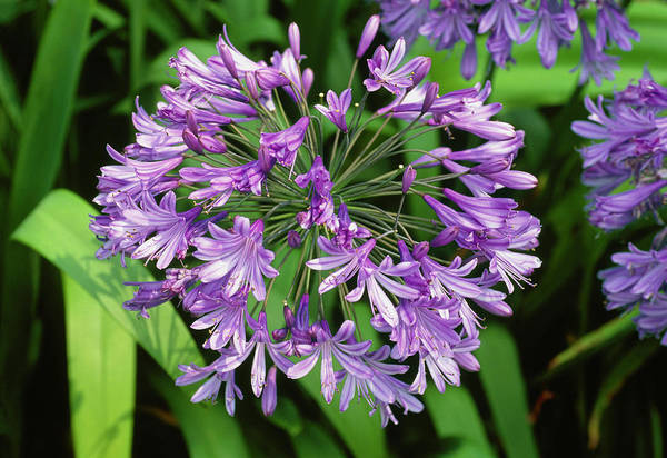 Agapanthus Photograph - African Blue Lily. (agapanthus Praecox Subsp. Orientalis) by Adrian Thomas/science Photo Library
