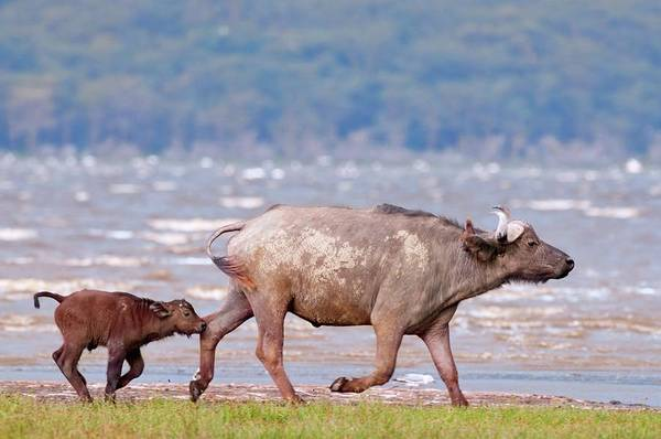 Syncerus Caffer Photograph - African Buffalo And Calf by Peter Chadwick/science Photo Library
