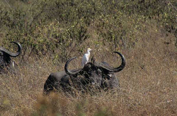 Syncerus Caffer Photograph - African Buffalo And Cattle Egret by M F Merlet/science Photo Library