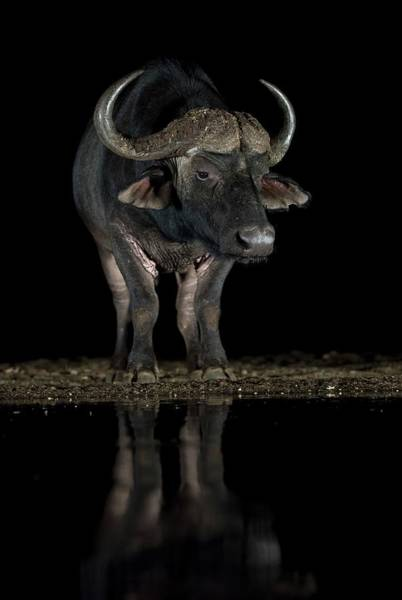 Syncerus Caffer Photograph - African Buffalo At A Waterhole At Night by Tony Camacho/science Photo Library
