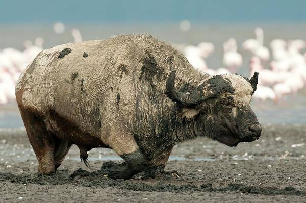 Syncerus Caffer Photograph - African Buffalo Bull by Peter Chadwick/science Photo Library