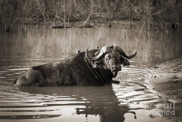 South Buffalo Photograph - African Buffalo by Delphimages Photo Creations