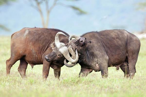 Syncerus Caffer Photograph - African Buffalo Fighting by Peter Chadwick/science Photo Library