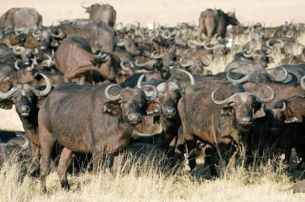Syncerus Caffer Photograph - African Buffalo Herd by Dr P. Marazzi/science Photo Library