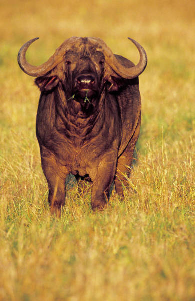 Syncerus Caffer Photograph - African Buffalo by Louise Murray/science Photo Library