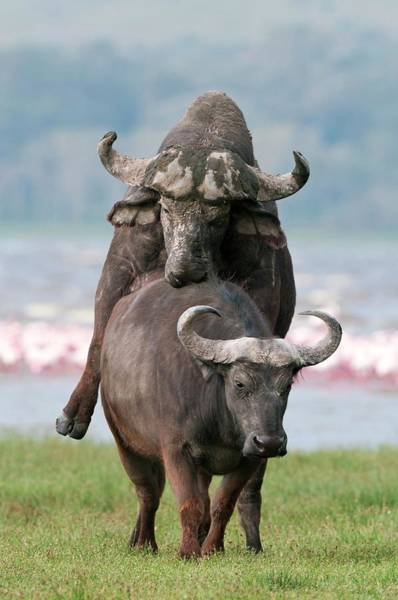 Syncerus Caffer Photograph - African Buffalo Mating by Peter Chadwick/science Photo Library