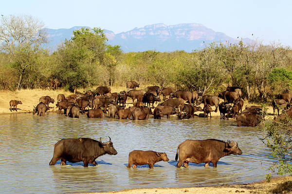 South Buffalo Photograph - African Buffaloes Drinking by Heinrich Van Den Berg