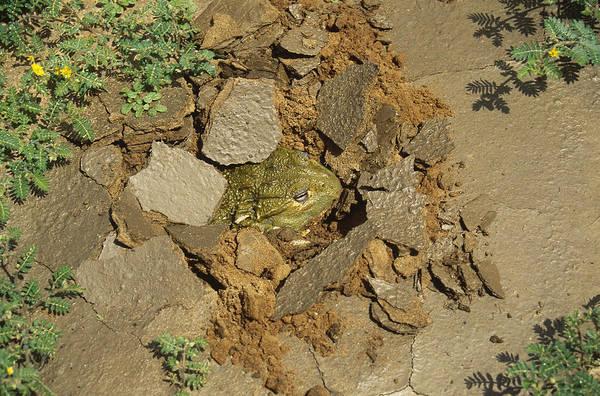 Bull Frog Photograph - African Bull Frog by Karl H. Switak