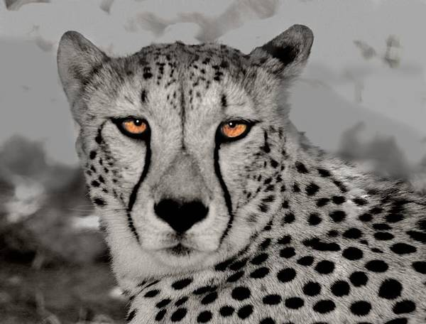 Photograph - African Cheetah by David Rich