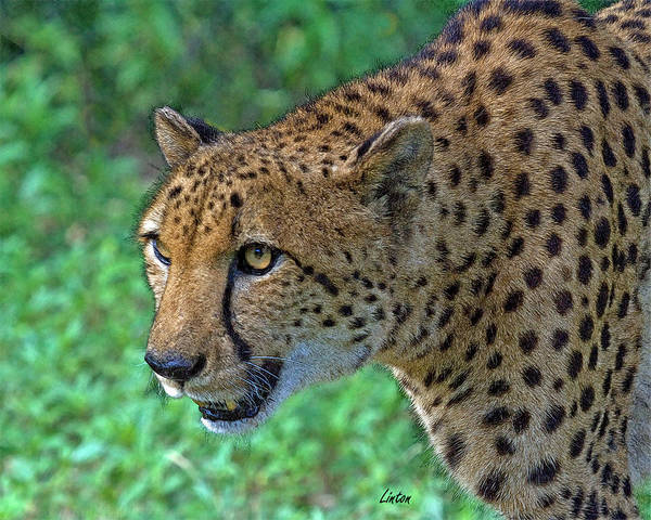 Digital Art - African Cheetah by Larry Linton