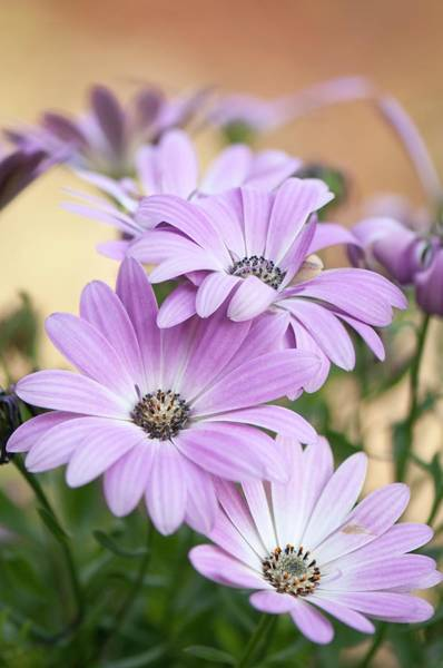 African Daisies Photograph - African Daisies (dimorphotheca Aurantiaca) by Maria Mosolova/science Photo Library