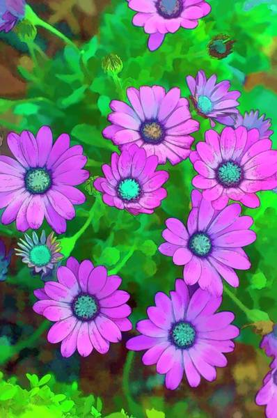African Daisies Photograph - African Daisy (dimorphotheca Barberiae) by Maria Mosolova/science Photo Library