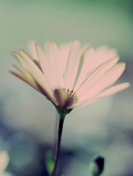 African Daisies Photograph - African Daisy (osteospermum Sp.) by Rachel Warne/science Photo Library